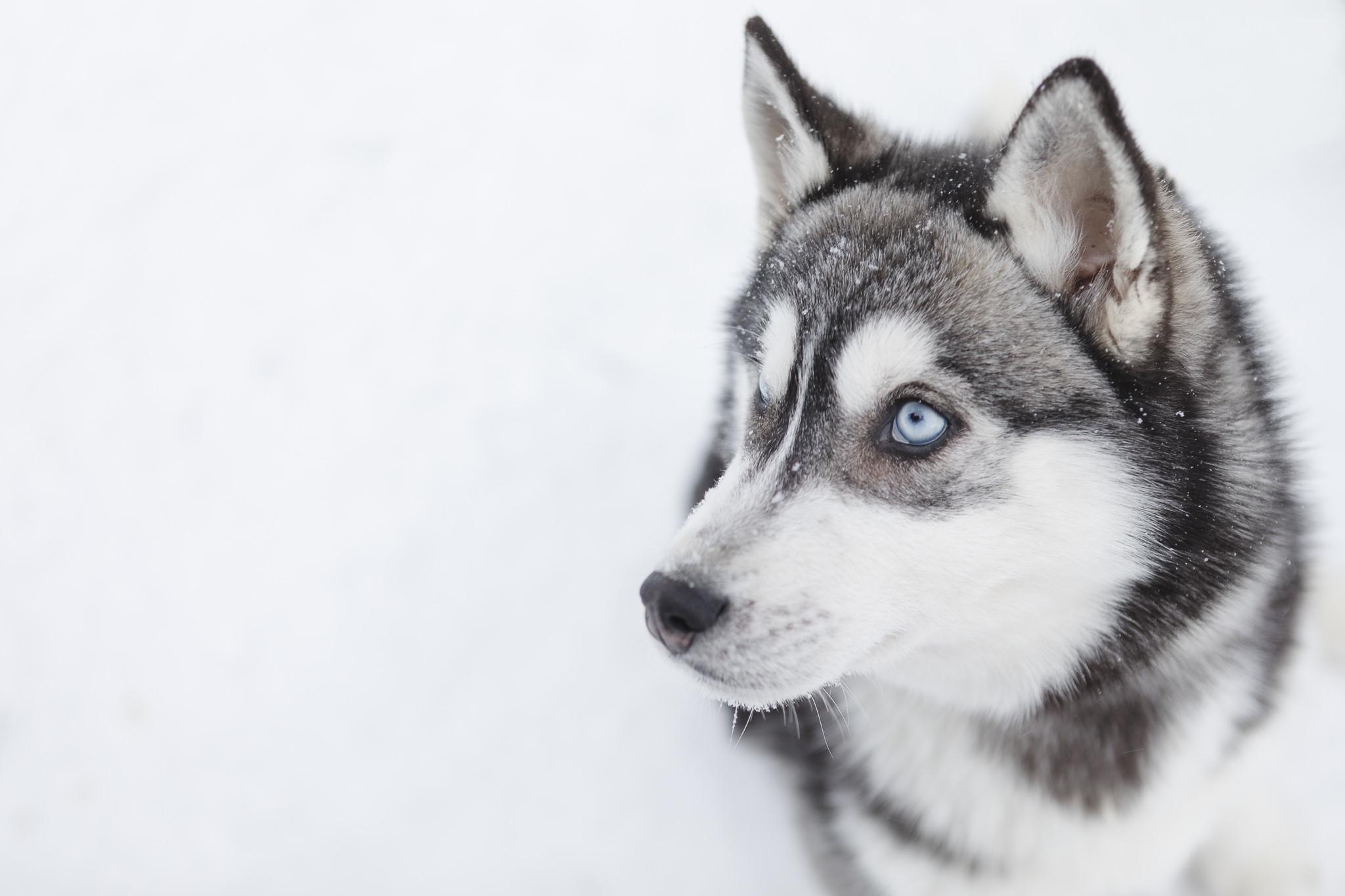 Fotoworkshop in Lappland - ein Husky im Schnee