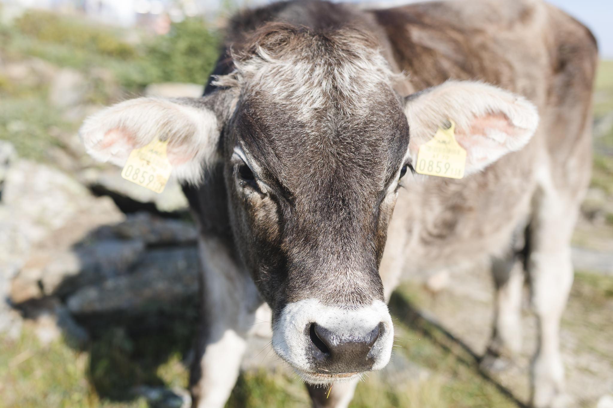 Kühe auf dem Weg zur Braunschweiger Hütte
